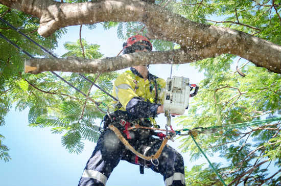 arborist performing tree pruning